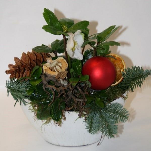 Weihnachtliche Christrose